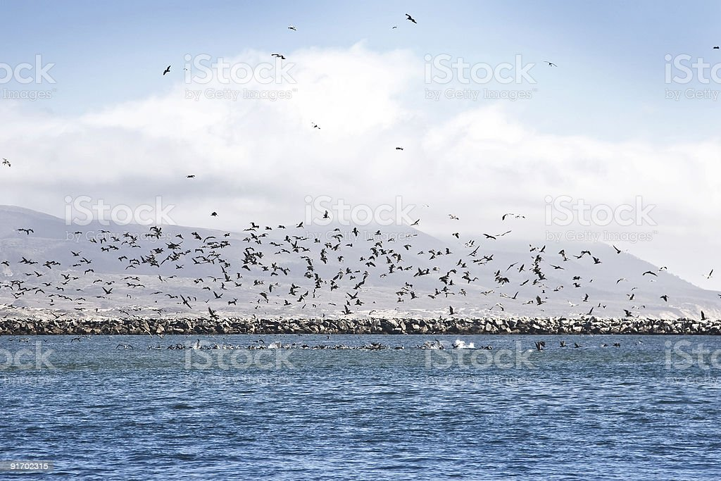 Pelican Attack royalty-free stock photo