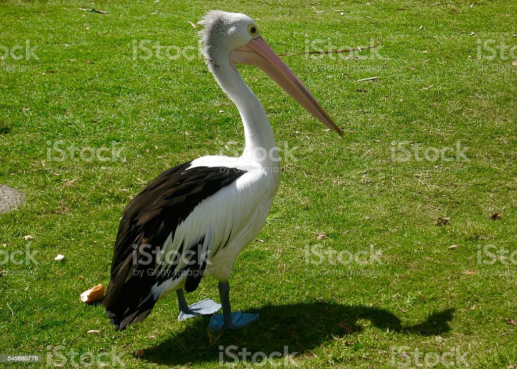 Pelican Australia stock photo