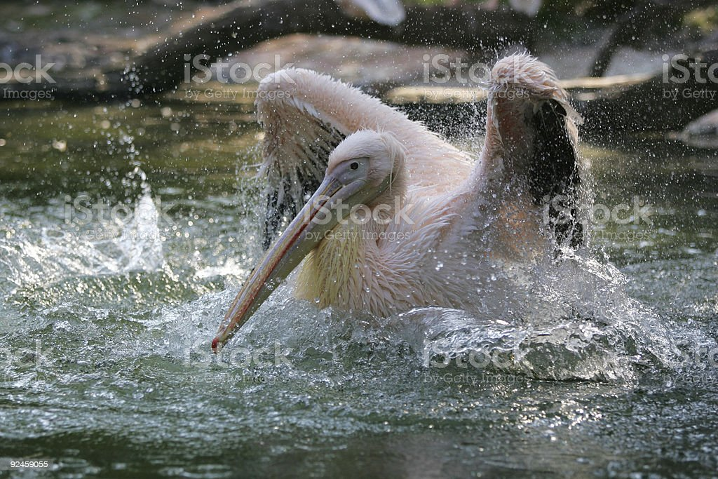 Pelican bathing royalty-free stock photo