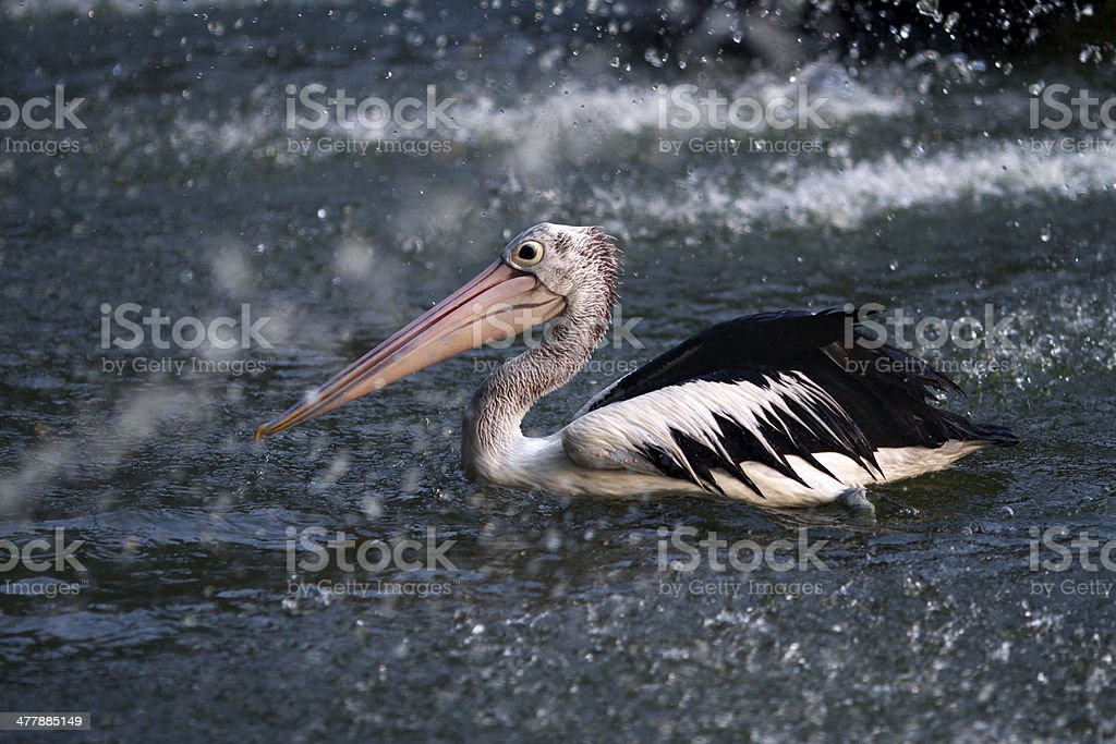 Pelican Bird royalty-free stock photo
