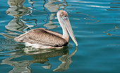 Pelican Bird Sitting by Water in Haulover Marina Miami Florida