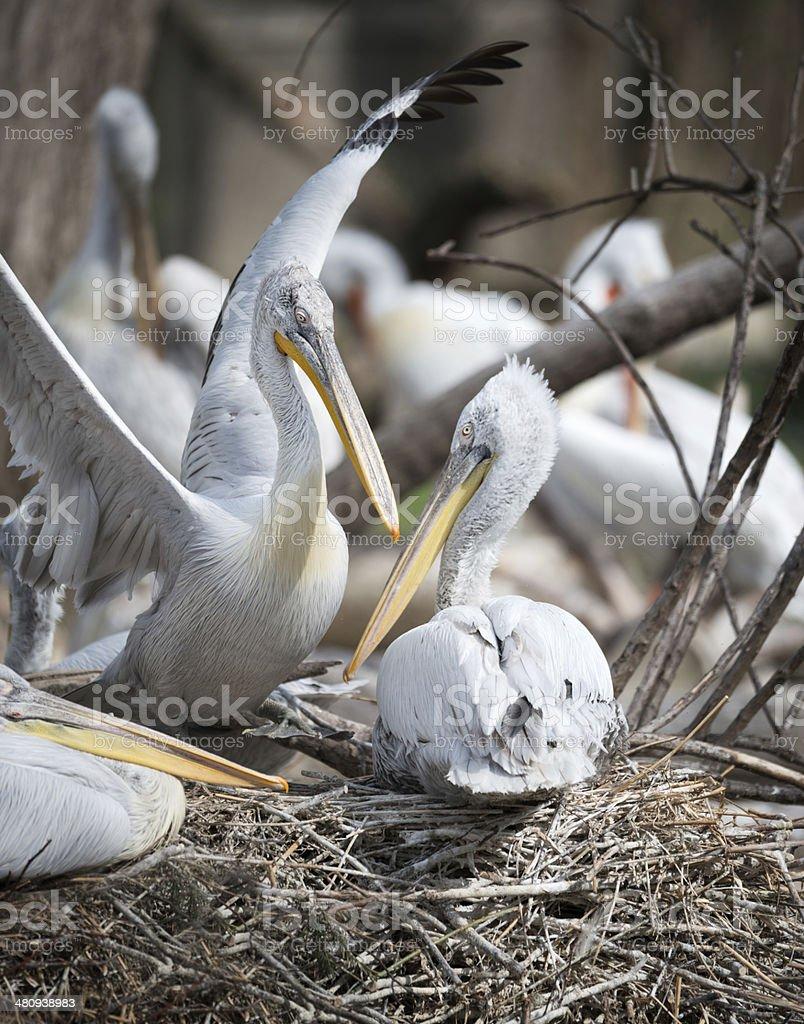 Pelican Breeding royalty-free stock photo