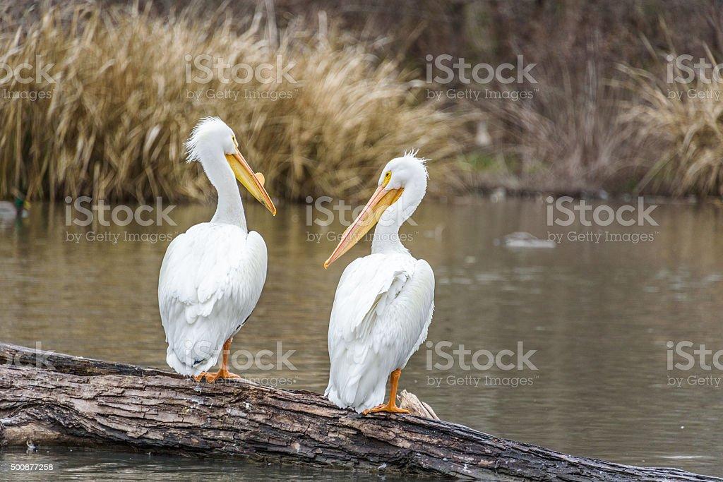 Pelican conversation stock photo