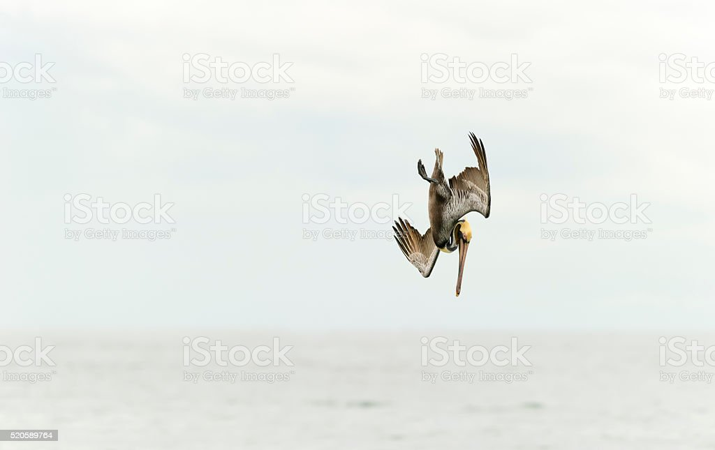 Pelican Diving stock photo