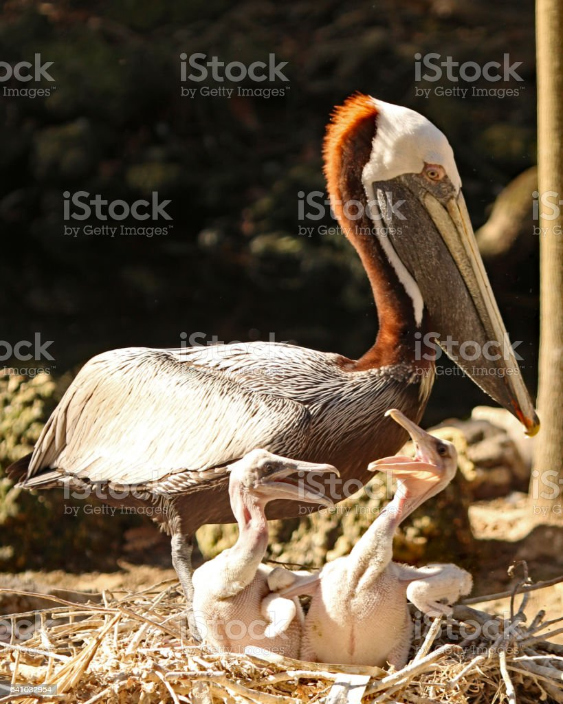 Pelican family breeding season stock photo