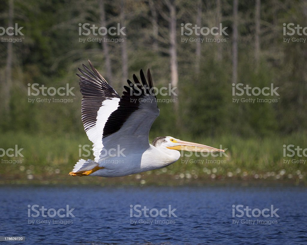 Pelican flies over a lake royalty-free stock photo