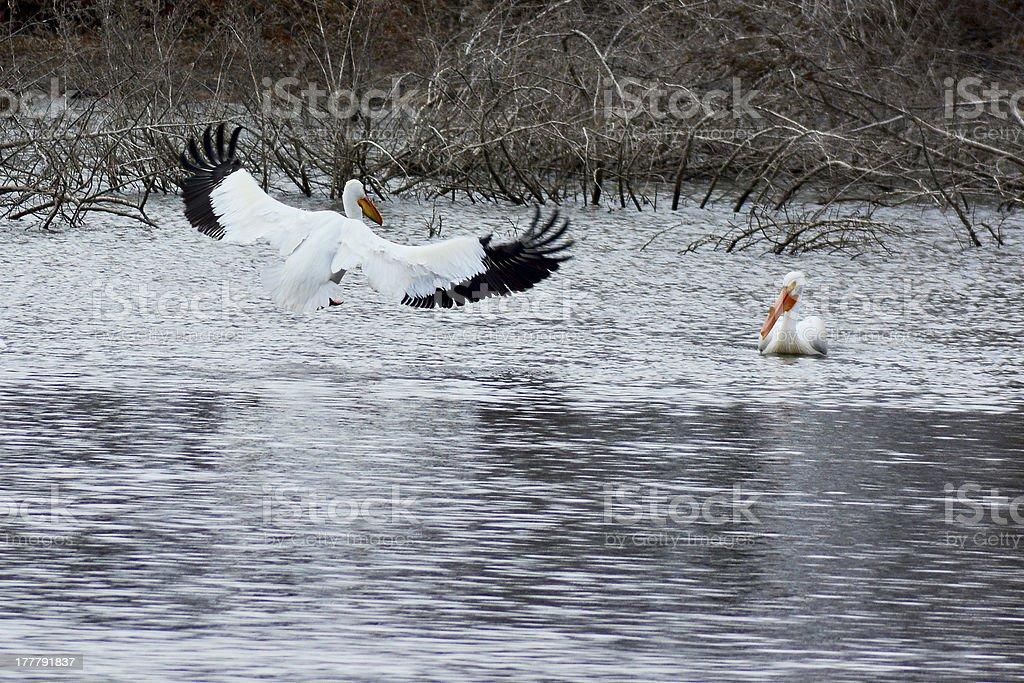 Pelican flight royalty-free stock photo