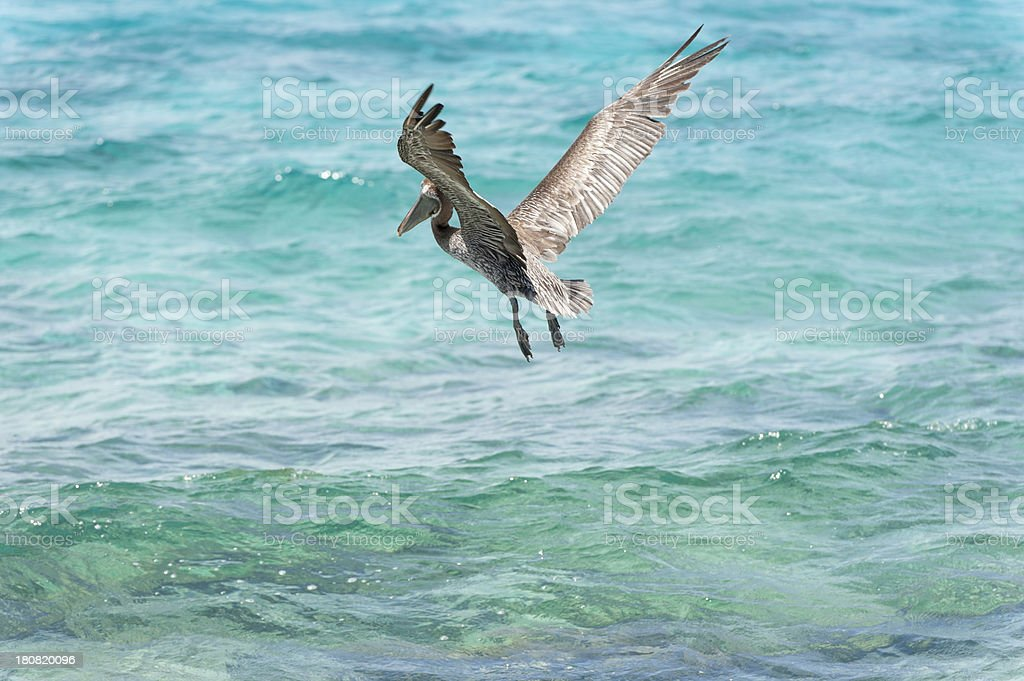 pelican flying in the caribean stock photo
