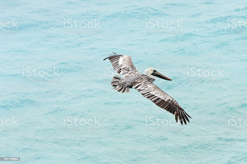 pelican flying in the caribean royalty-free stock photo
