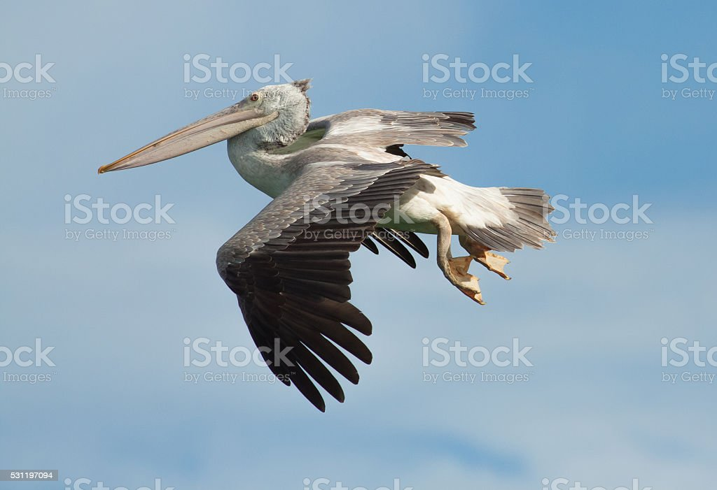 Pelican flying on blue sky background royalty-free stock photo
