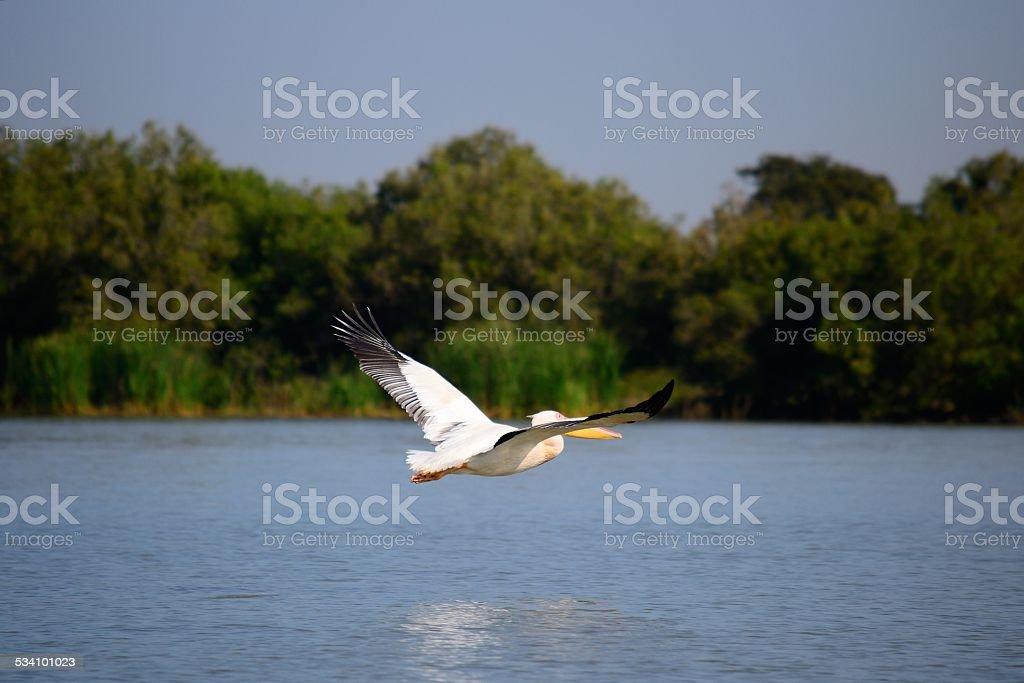 Pelican flying on lake stock photo