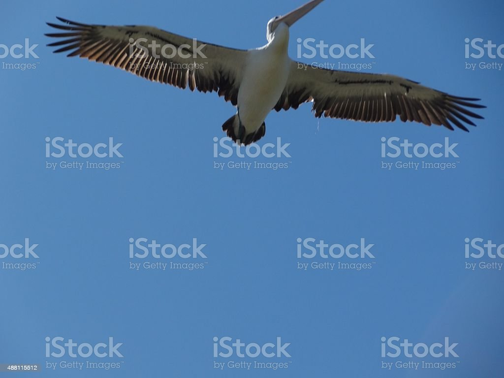 Pelican flying overhead showing outspread wings. stock photo