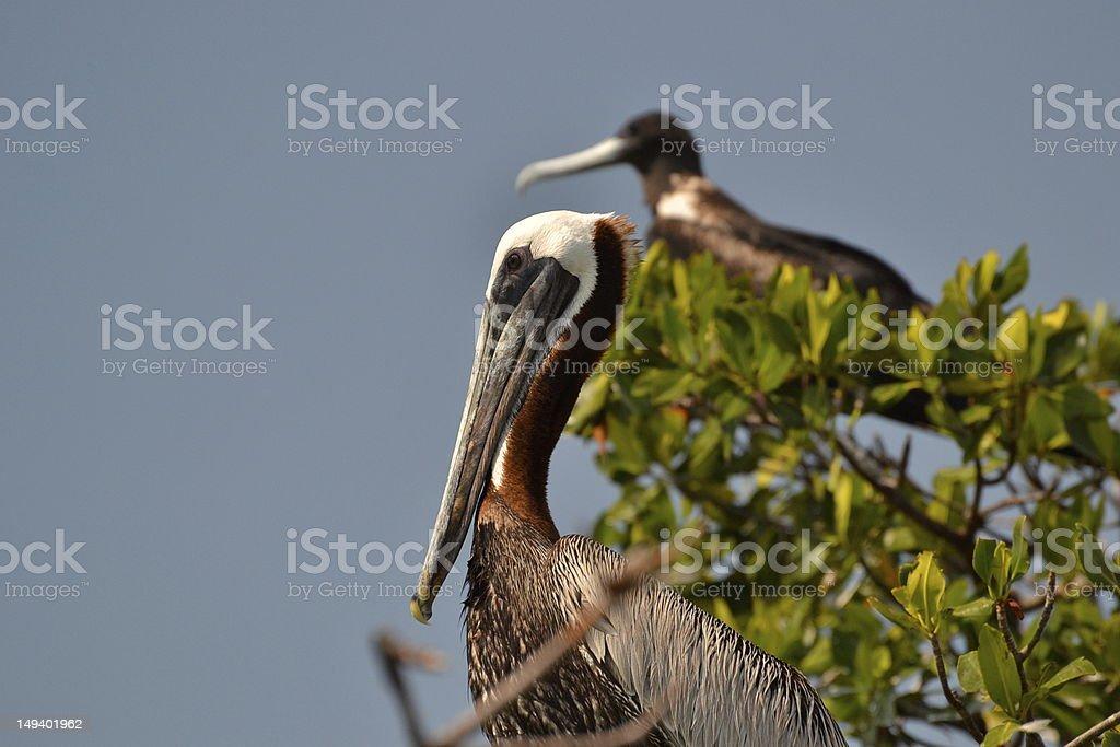Pelican & Frégate oiseaux photo libre de droits