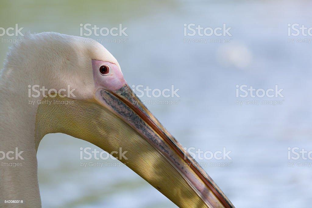 Pelican head closeup stock photo