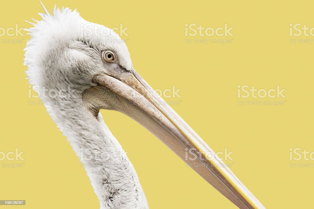 Pelican Head Isolated on Yellow royalty-free stock photo