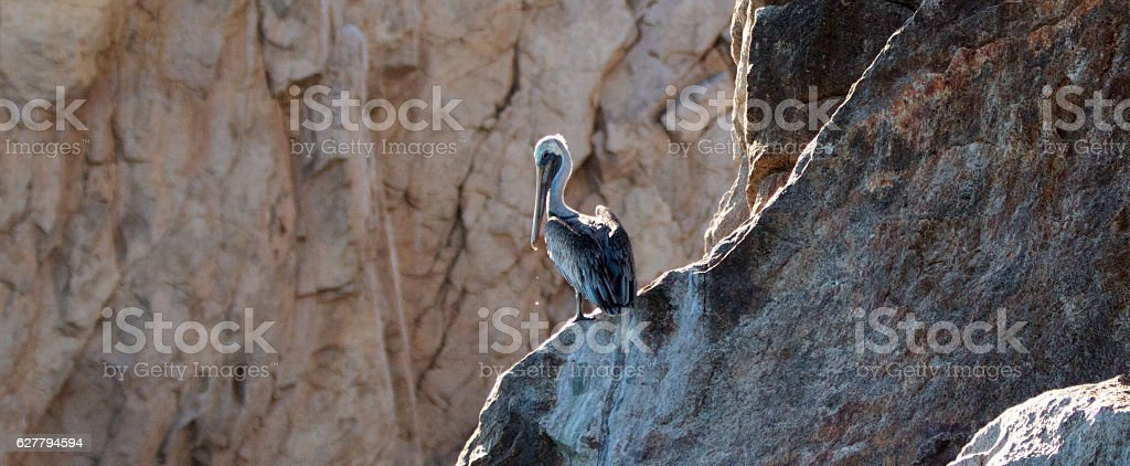 Pelican high on Los Arcos cliffs on Lands End stock photo