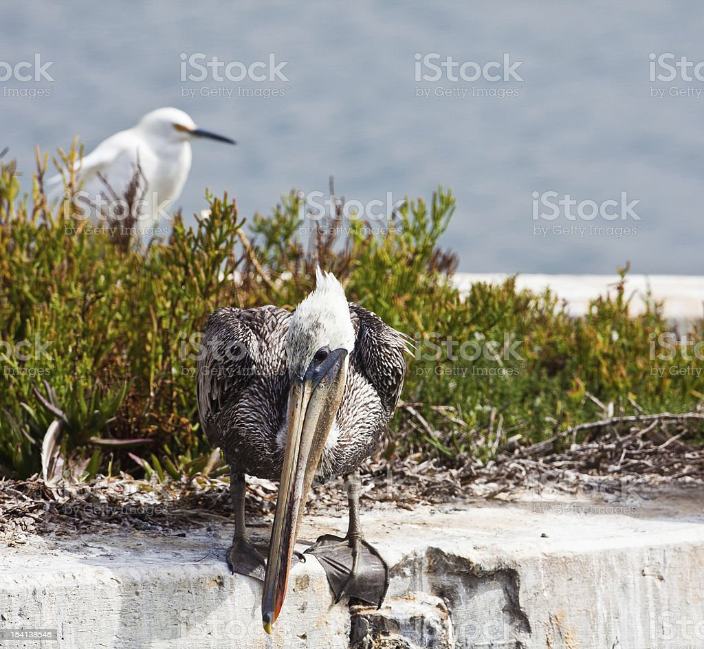 Pelican Hunting For Food royalty-free stock photo