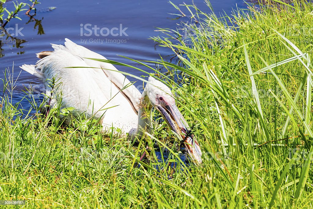 pelican hunting royalty-free stock photo