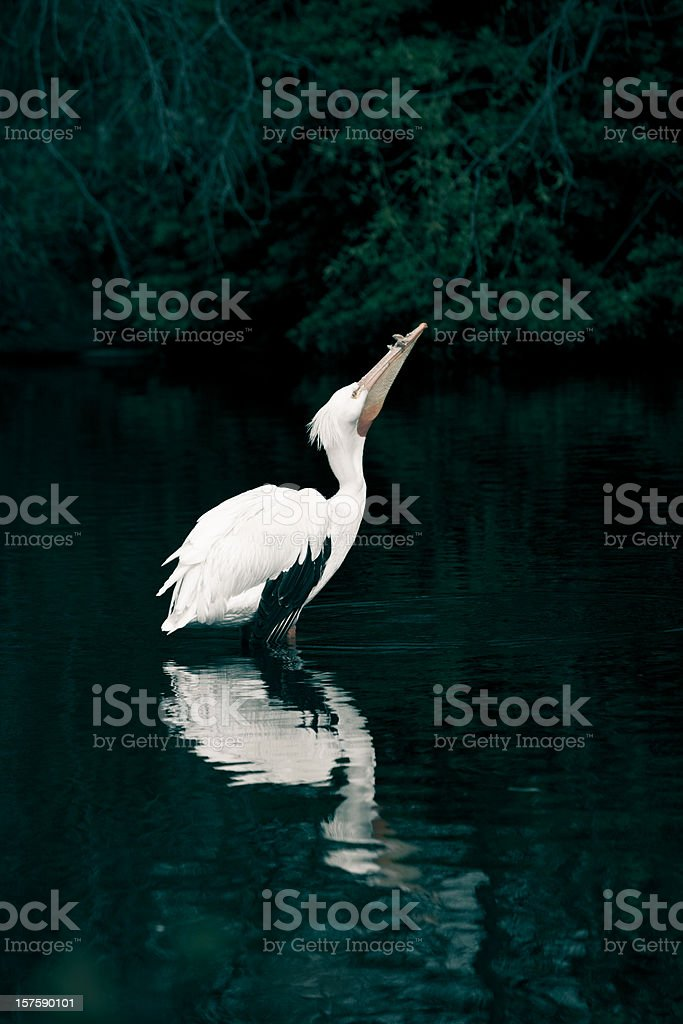 Pelican in a lake royalty-free stock photo