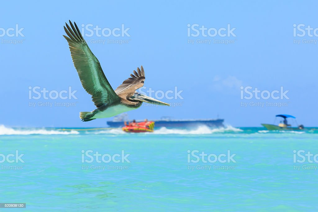 Pelican in flight, catching the fish stock photo