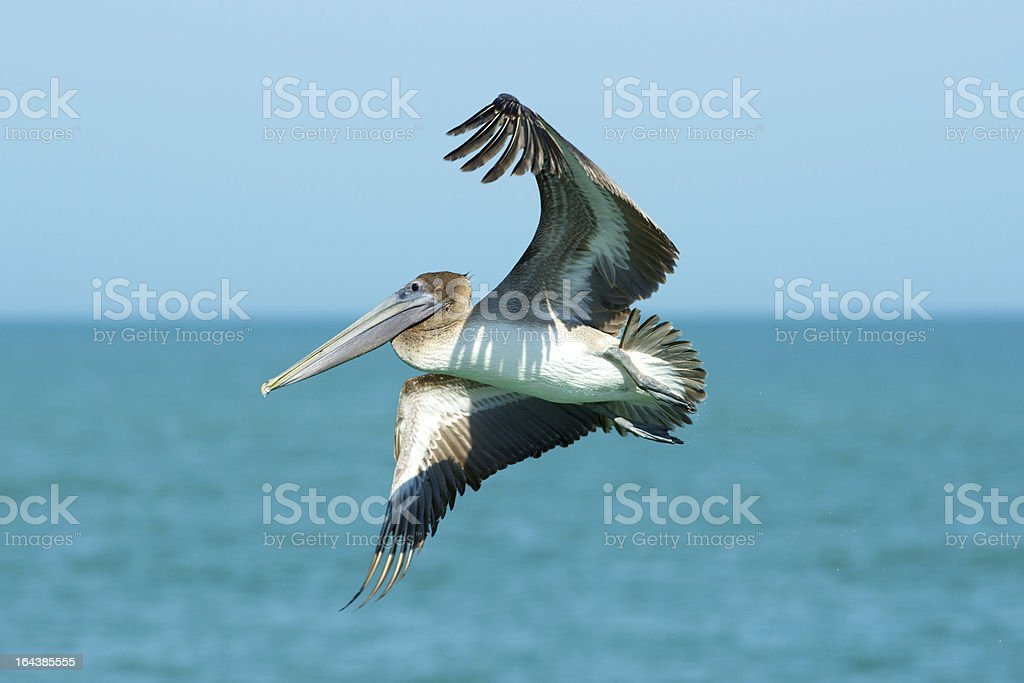 Pelican in Flight, Gulf of Mexico royalty-free stock photo