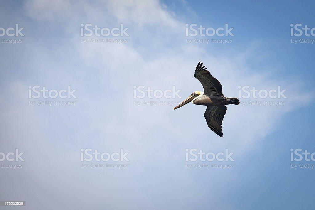 pelican in flight royalty-free stock photo