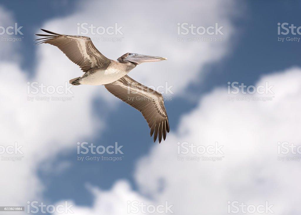 Pelican in Flight stock photo