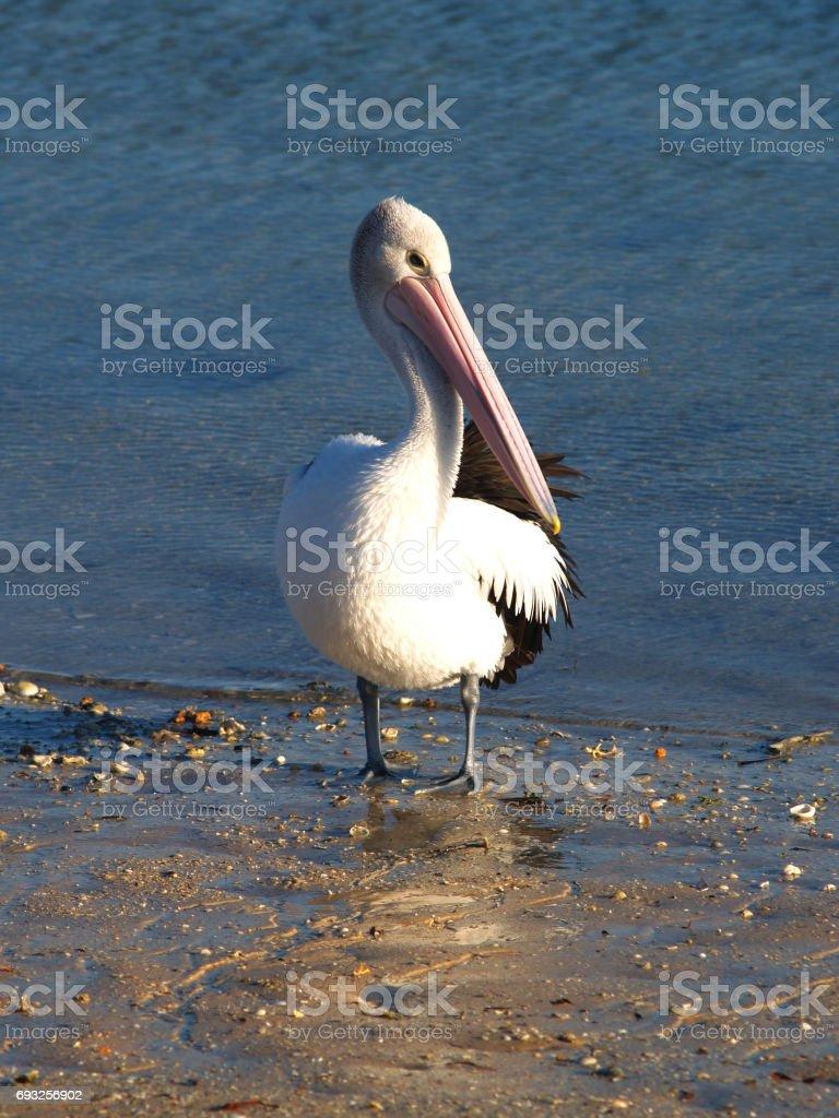Pelican in Monkey Mia, Australia stock photo