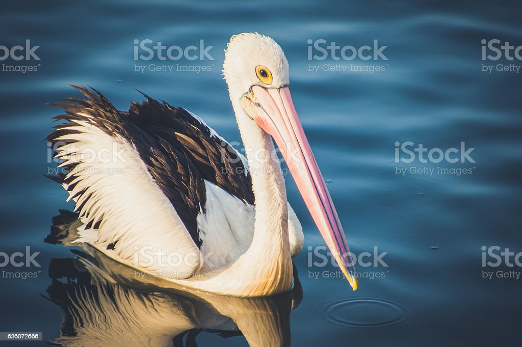 Pelican in the bay stock photo