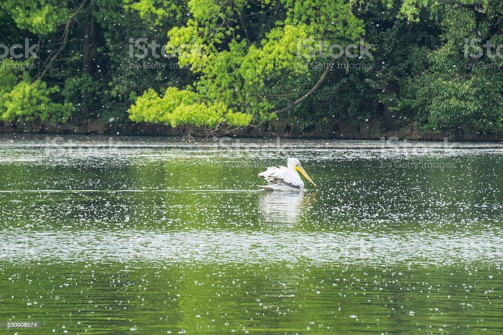 pelican in the lake stock photo