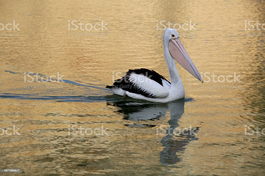 Pelican in the Morning stock photo
