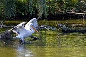 Pelican in the wild