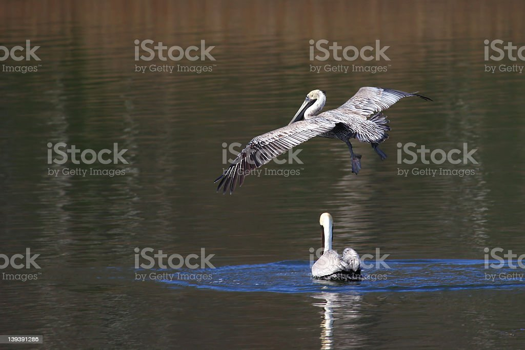 Pelican Landing royalty-free stock photo