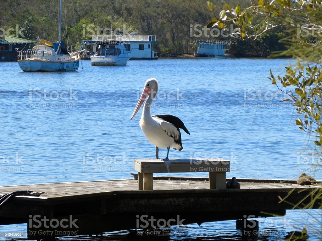 Pelican Noosa River, Australia stock photo