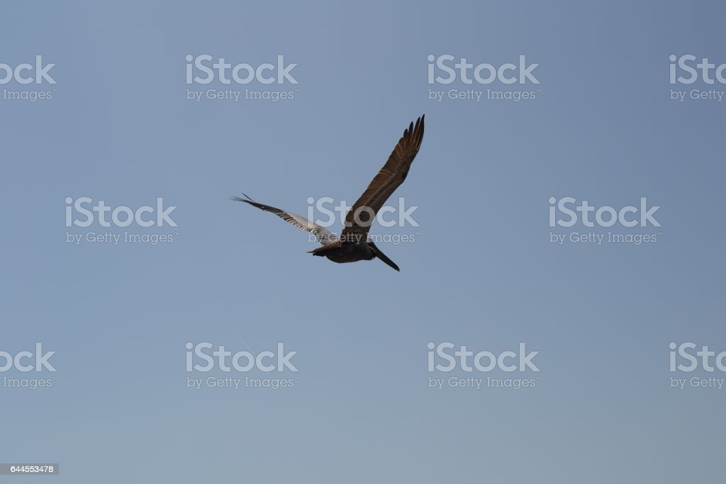 Pelican of in Florida, Miami Beach. Southern beach. stock photo