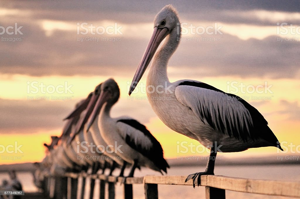 Pelican on a Jetty stock photo