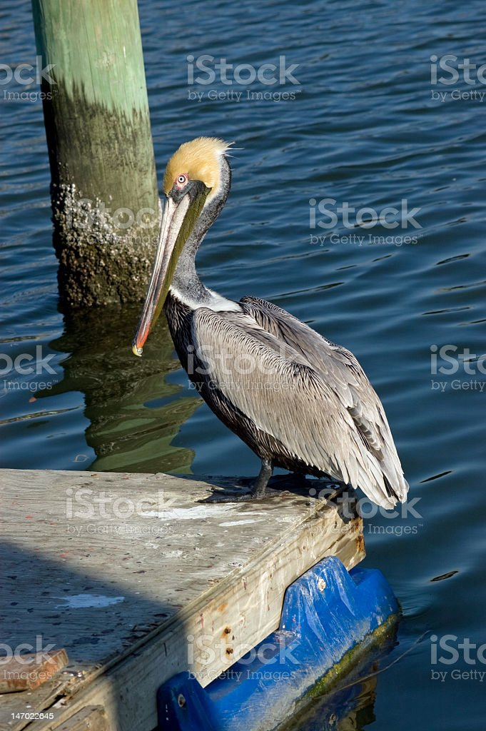 Pelican on a Pier royalty-free stock photo