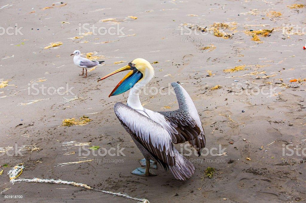 Pelican on Ballestas Islands,Peru  South America stock photo