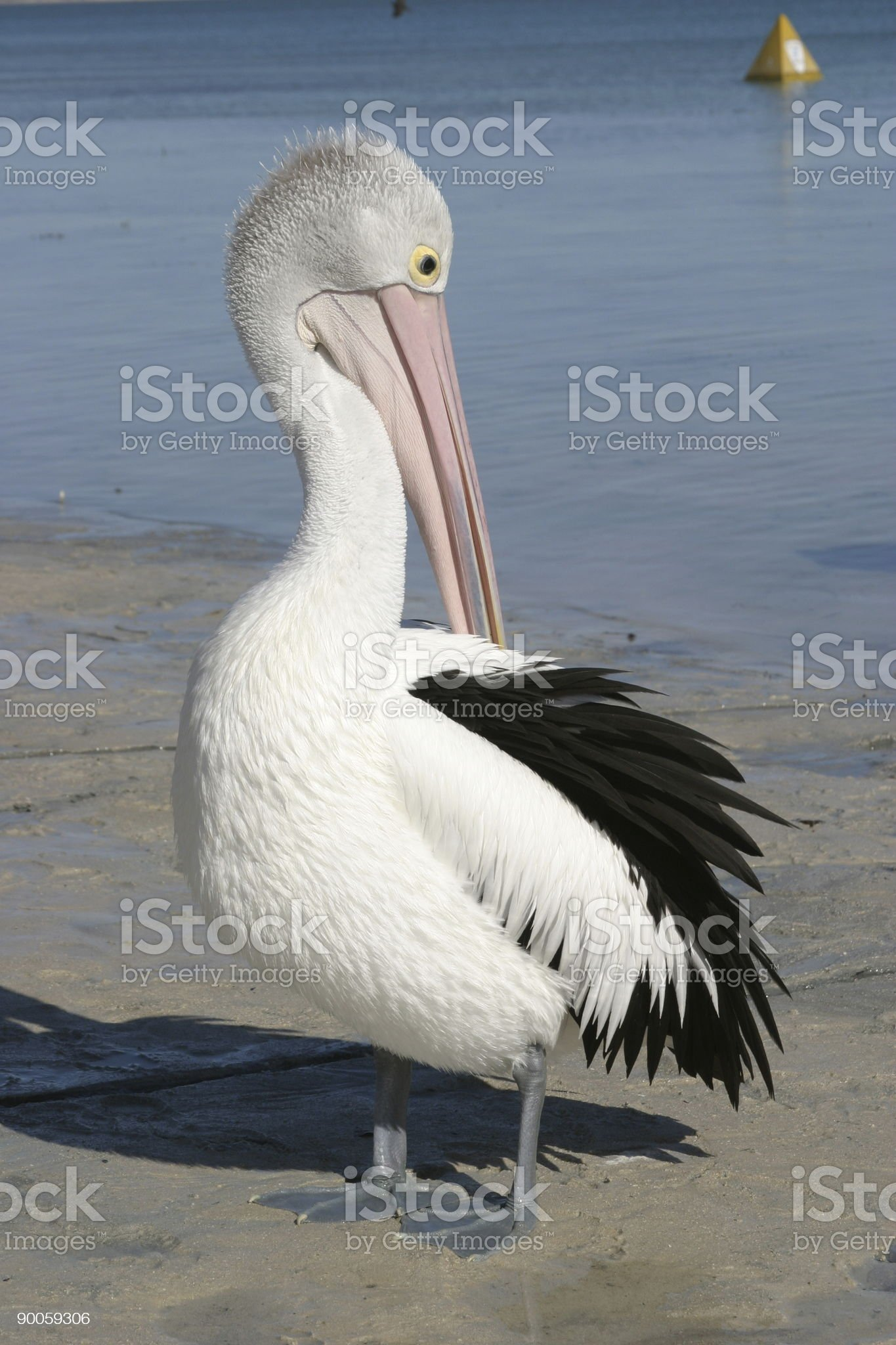 Pelican  on beach royalty-free stock photo