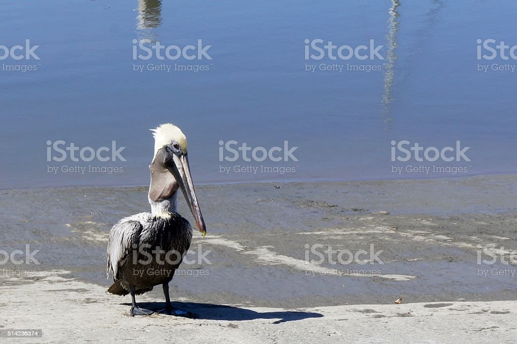Pelican on Boat Launch stock photo