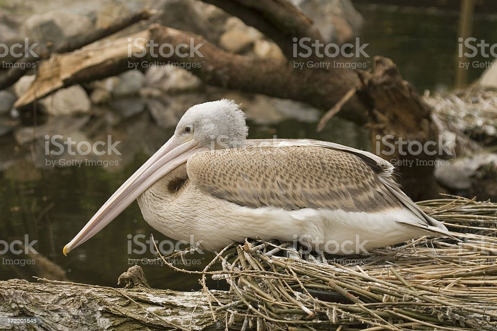 Pelican on its nest royalty-free stock photo