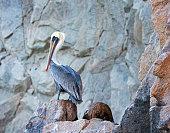 Pelican on Los Arcos Cabo San Lucas Baja Mexico BCS