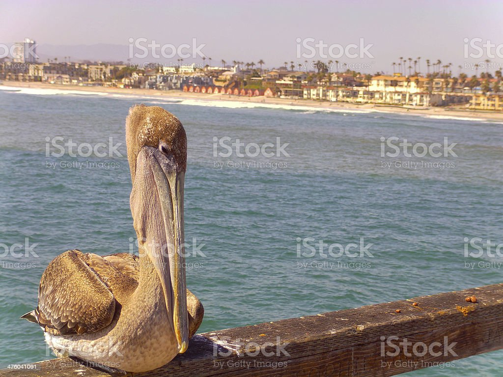 Pelican on Peer with Beach behind it stock photo