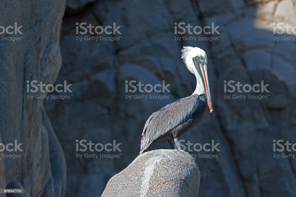 Pelican on Pelikan rock at Los Arcos Cabo San Lucas stock photo