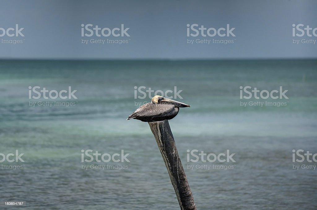 pelican on post royalty-free stock photo