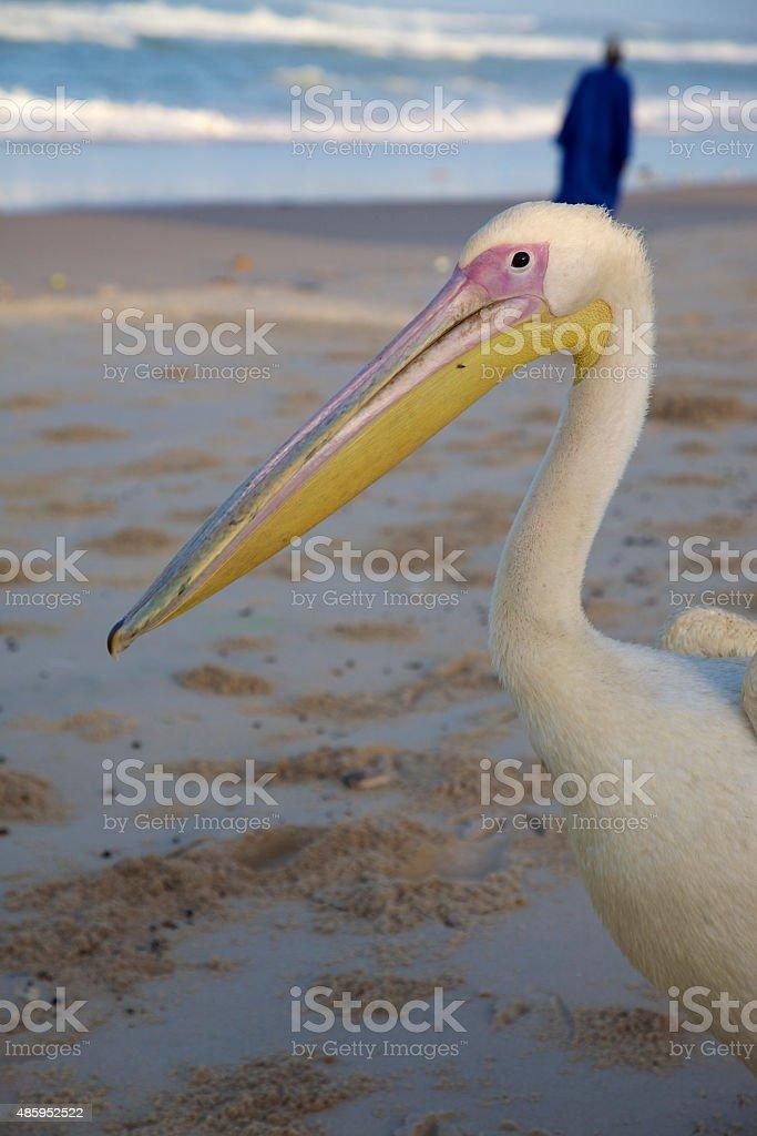 Pelican on the beach or Saint Louis stock photo