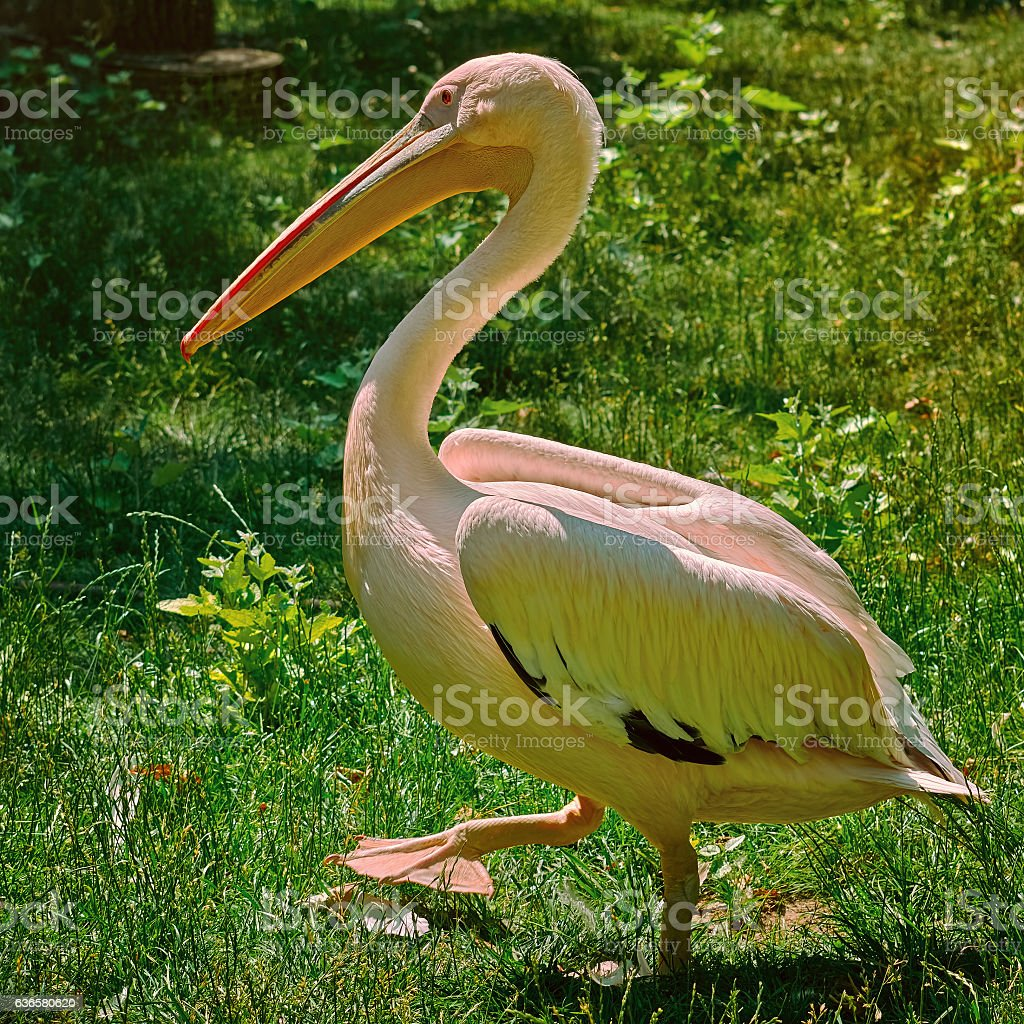 Pelican on the Grass stock photo