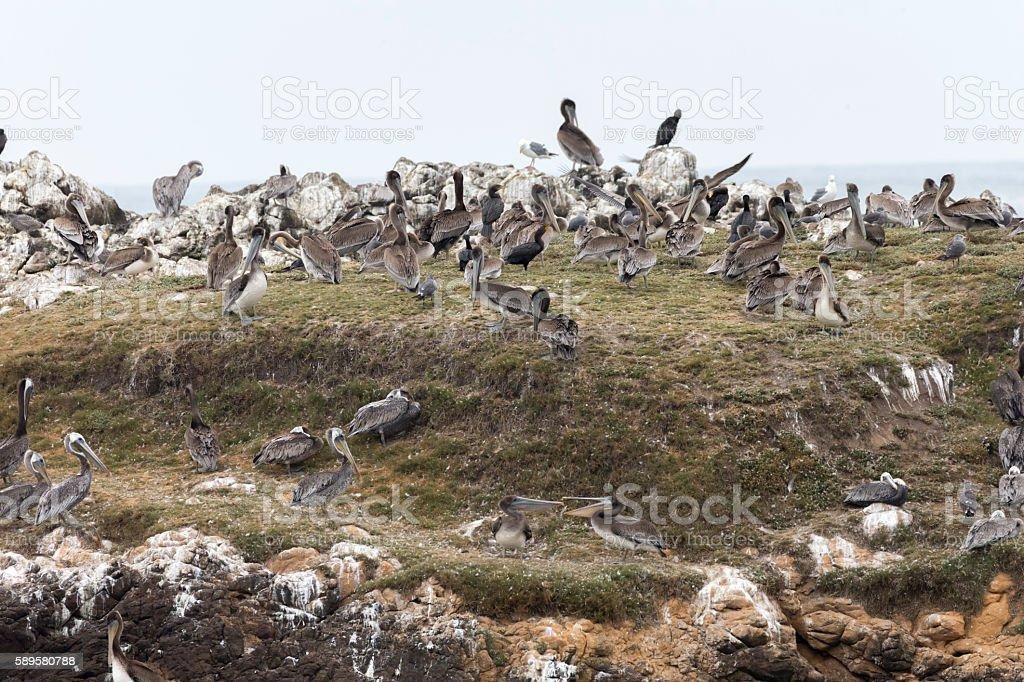 Pelican on the rock, Santa Cruz, California stock photo