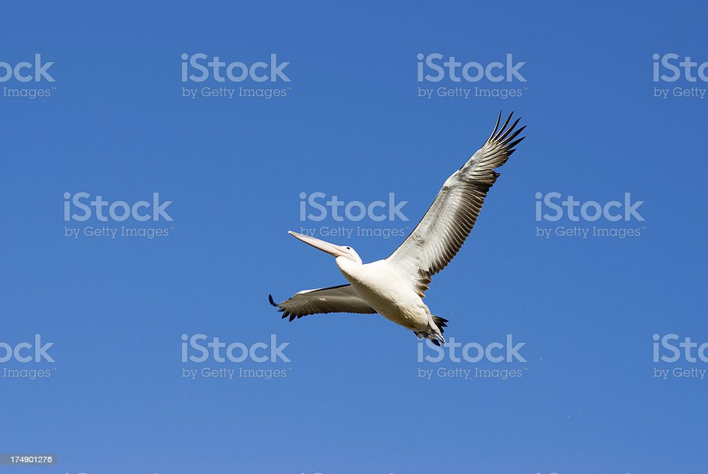 Pelican on the wing royalty-free stock photo