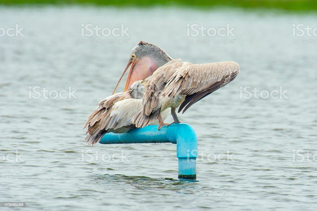 Pelican on water (couple) royalty-free stock photo